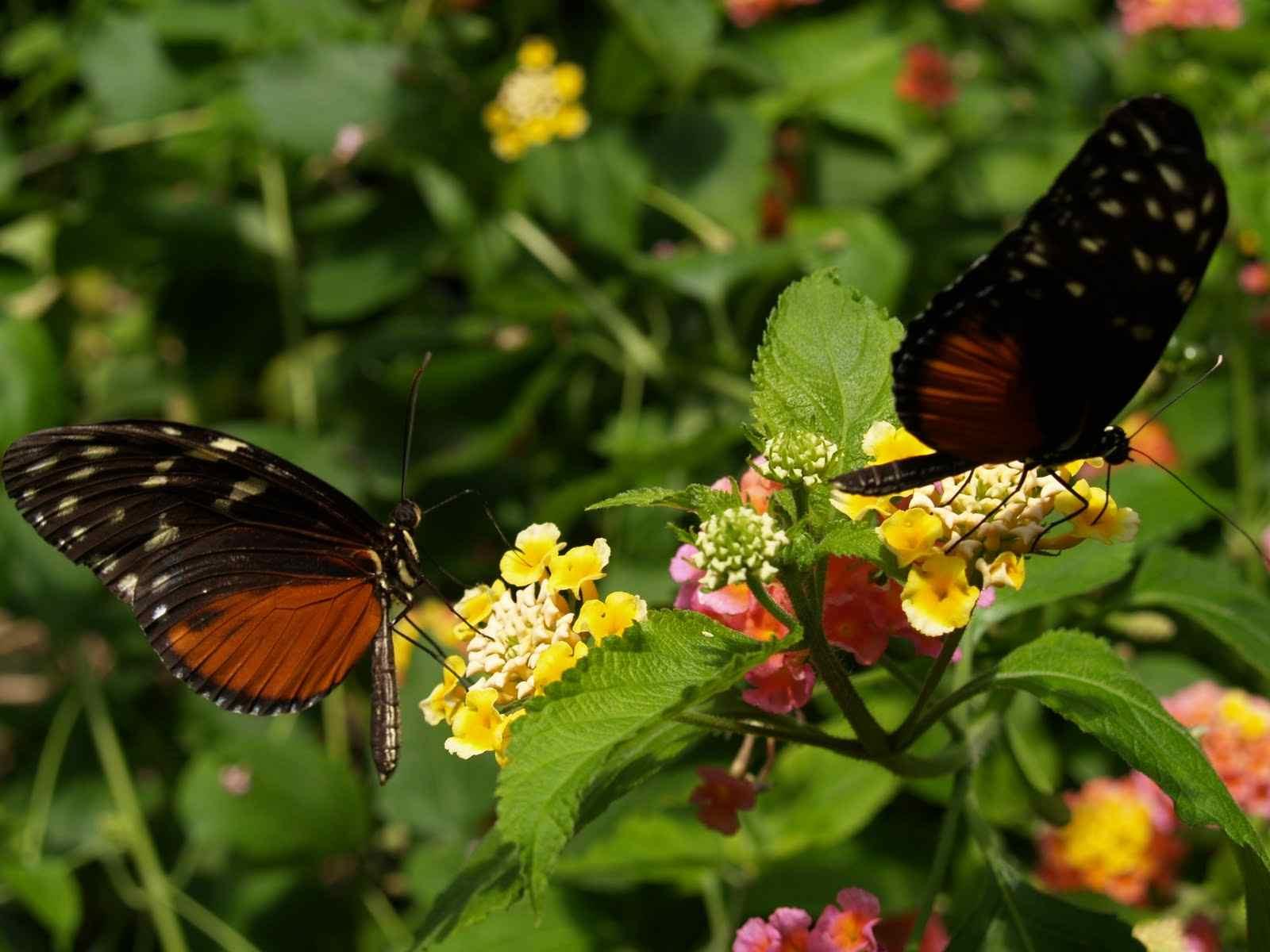 حديقة الفراشات كاميرون هايلاند - السياحة في كاميرون هايلاند