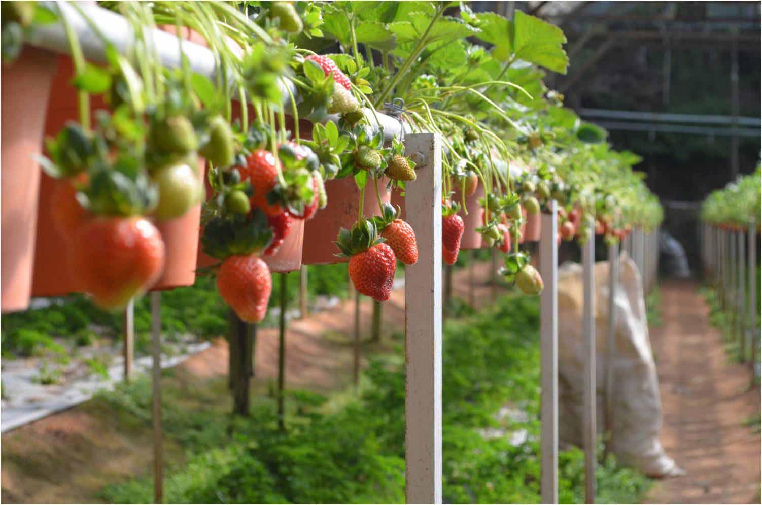 مزارع الفراولة في كاميرون هايلاند - السياحة في كاميرون هايلاند