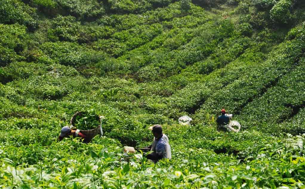 مزارع الشاي كاميرون هايلاند - الاماكن السياحية في كاميرون هايلاند